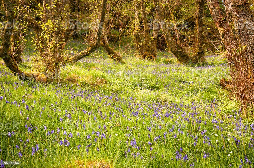 Bluebell woodland stock photo