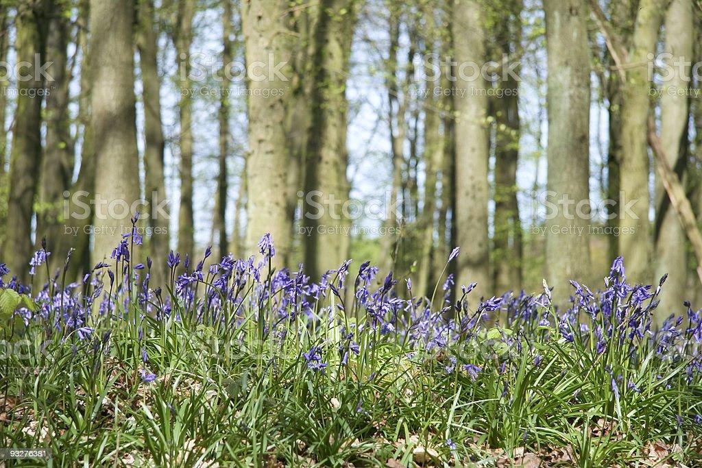 bluebell woods background ashridge uk royalty-free stock photo