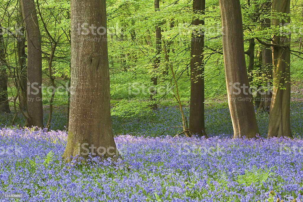 Bluebell woods in spring royalty-free stock photo