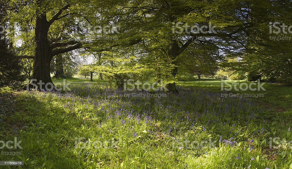 Bluebell woods. royalty-free stock photo