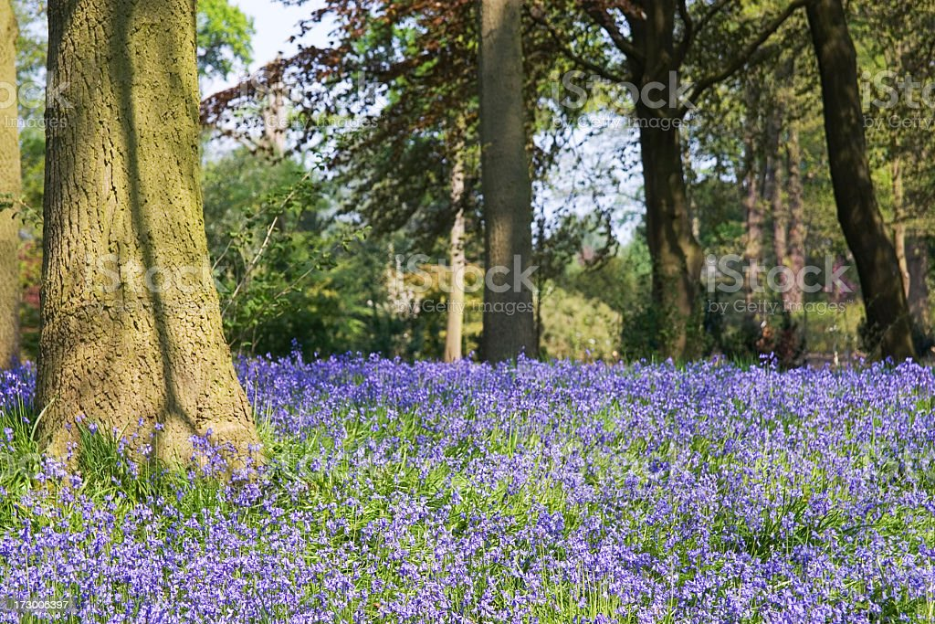 Bluebell woods royalty-free stock photo