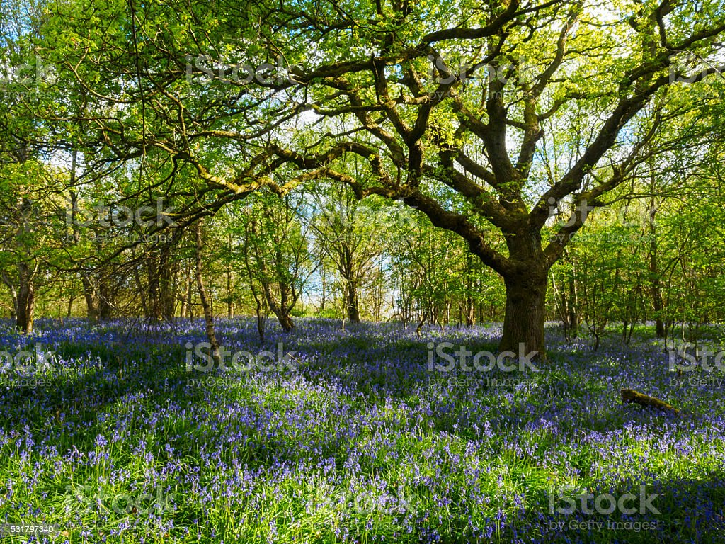 Bluebell Woods. stock photo