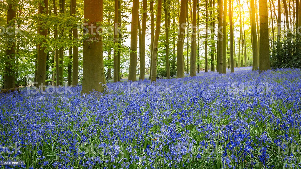 Bluebell Woods stock photo
