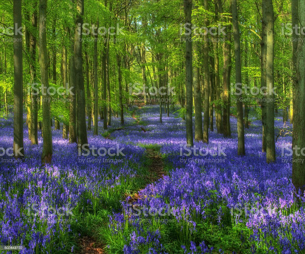Bluebell woods, Spring, UK, Hertfordshire.  Hockey wood stock photo