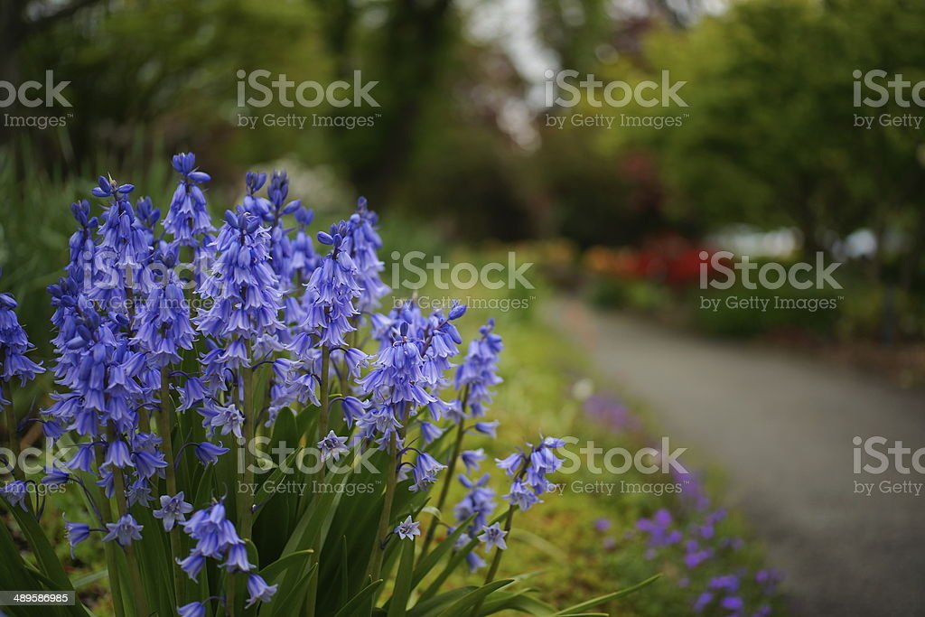 Bluebells Along A Path stock photo