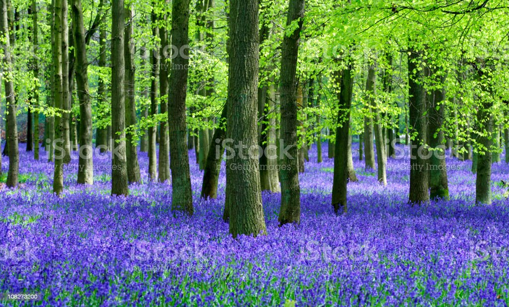 Bluebells and Beech trees natural setting stock photo