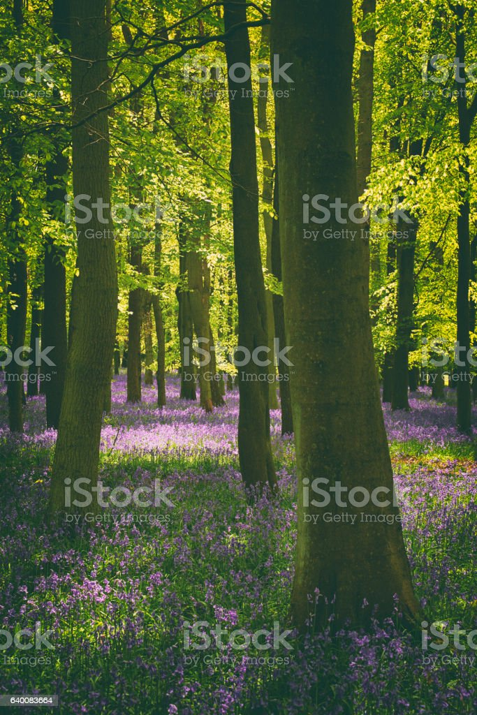 Bluebells And Beech Trees stock photo