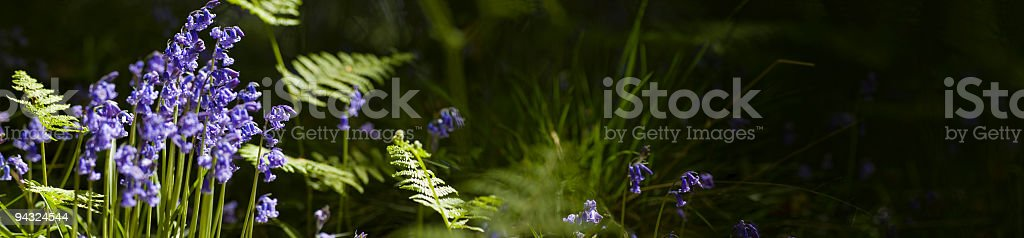 Bluebells and ferns deep in the forest royalty-free stock photo