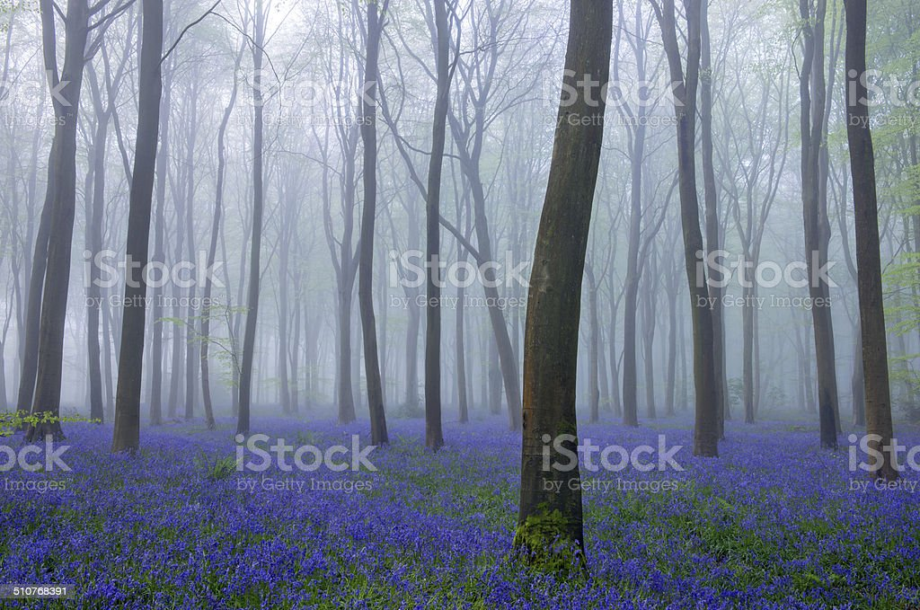 Bluebells and mist in beech woodland in England, UK stock photo