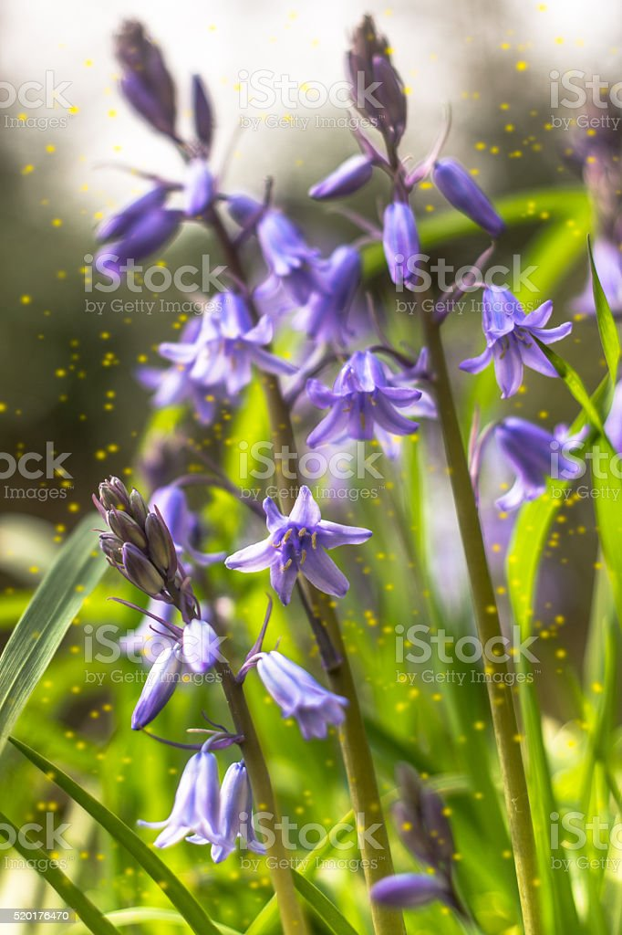 Bluebells and pollen stock photo