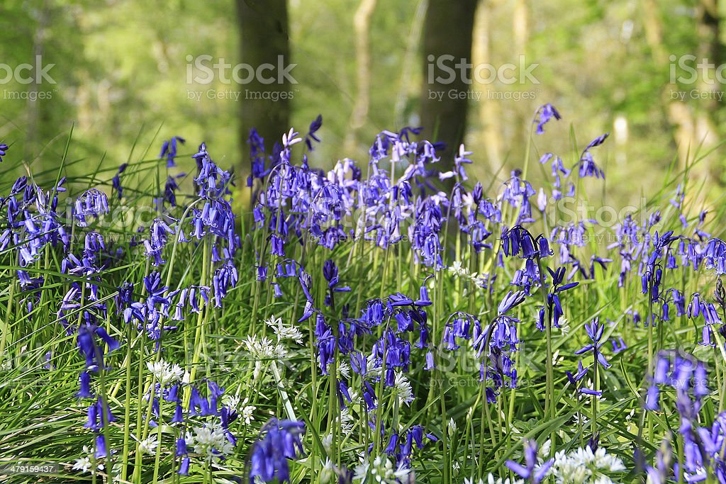 Bluebells and wild garlic in woodland Beaulieu Hampshire stock photo