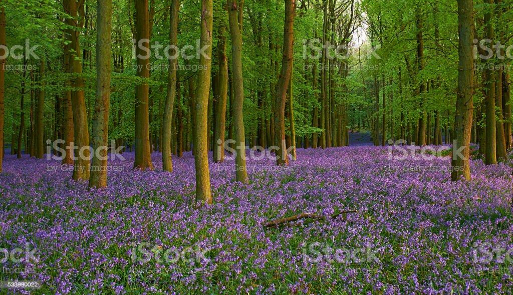Bluebells At Dusk stock photo