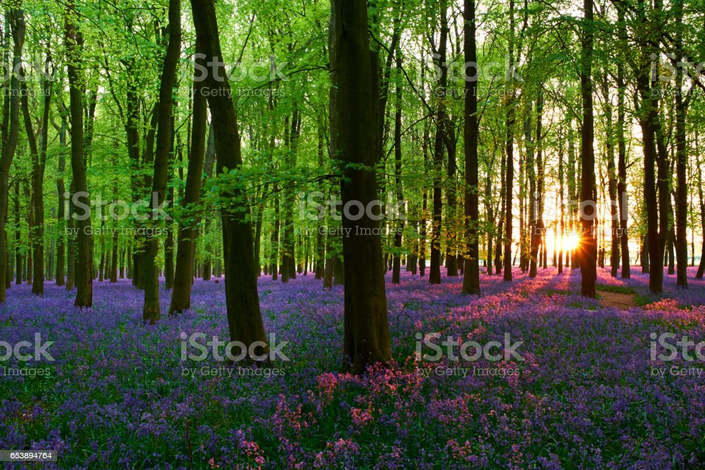 Bluebells At Sunset stock photo