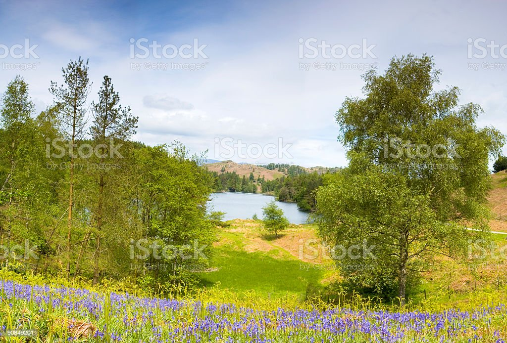 Bluebells at Tarn Hows, Lake District royalty-free stock photo