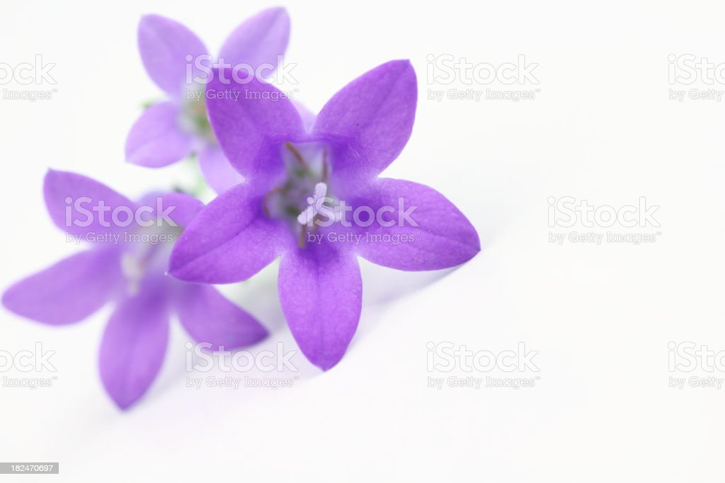 bluebells Close up of   Campanula carpatica stock photo
