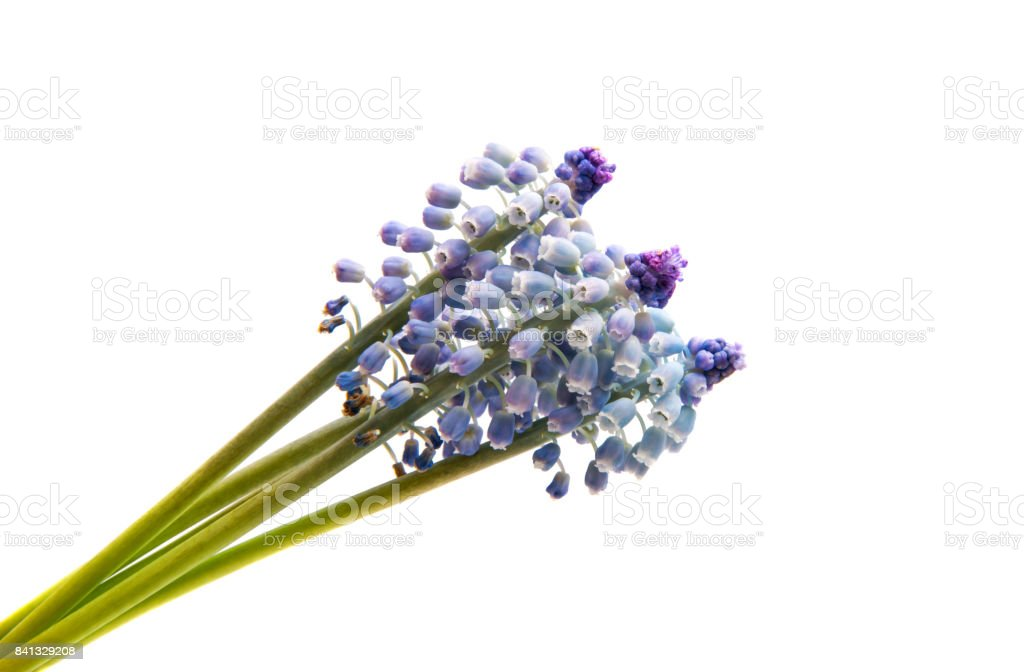 Bluebells flower (Grape Hyacinth Muscari armeniacum) stock photo