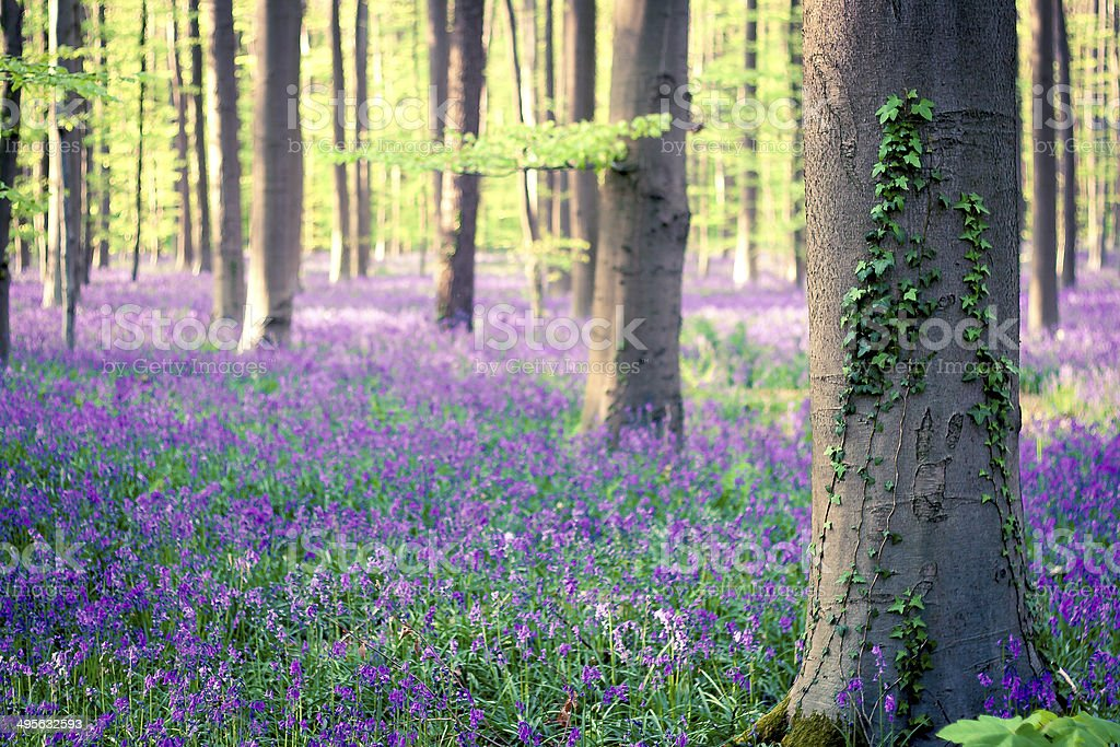 Bluebells forest in spring stock photo