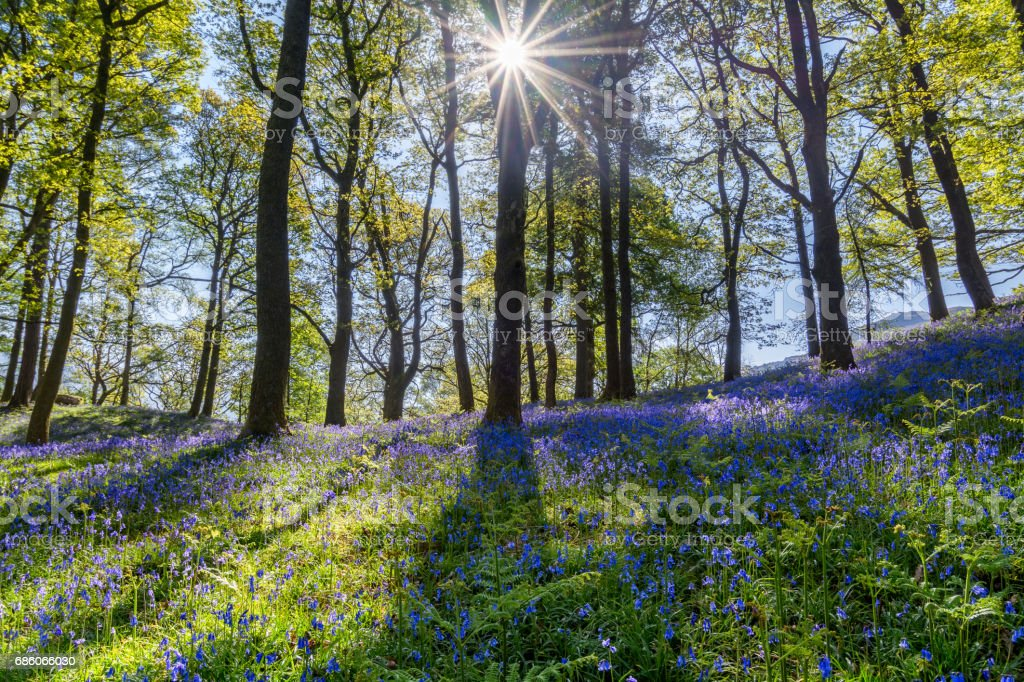 Bluebells Forest With Sun Shining Through Trees. stock photo