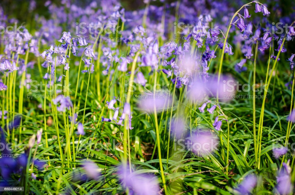 Bluebells in a forest nature background stock photo