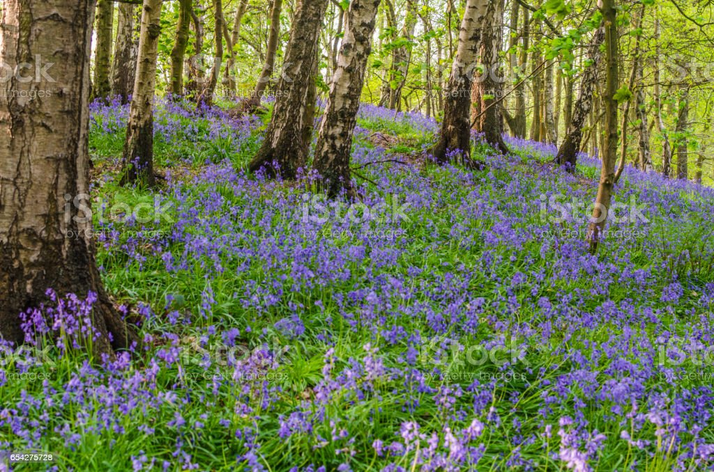 Bluebells in a nature forest photographed as background with copy space stock photo
