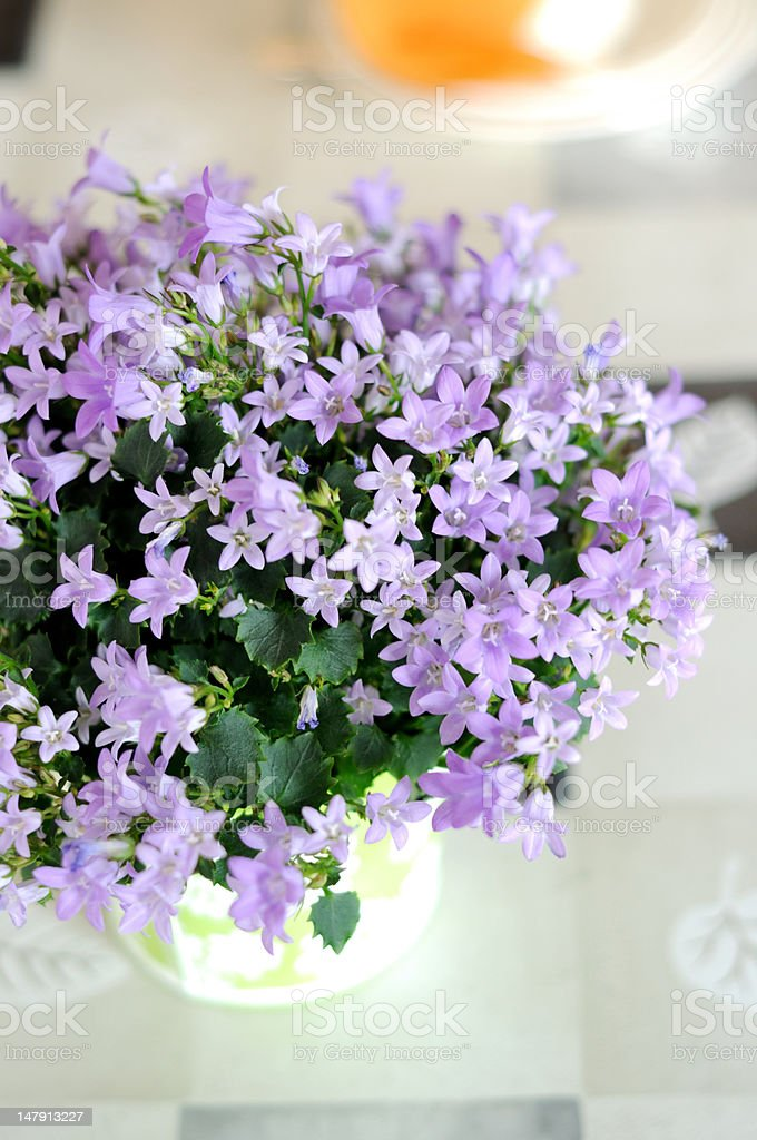 Bluebells in a pot. Campanula carpatica stock photo
