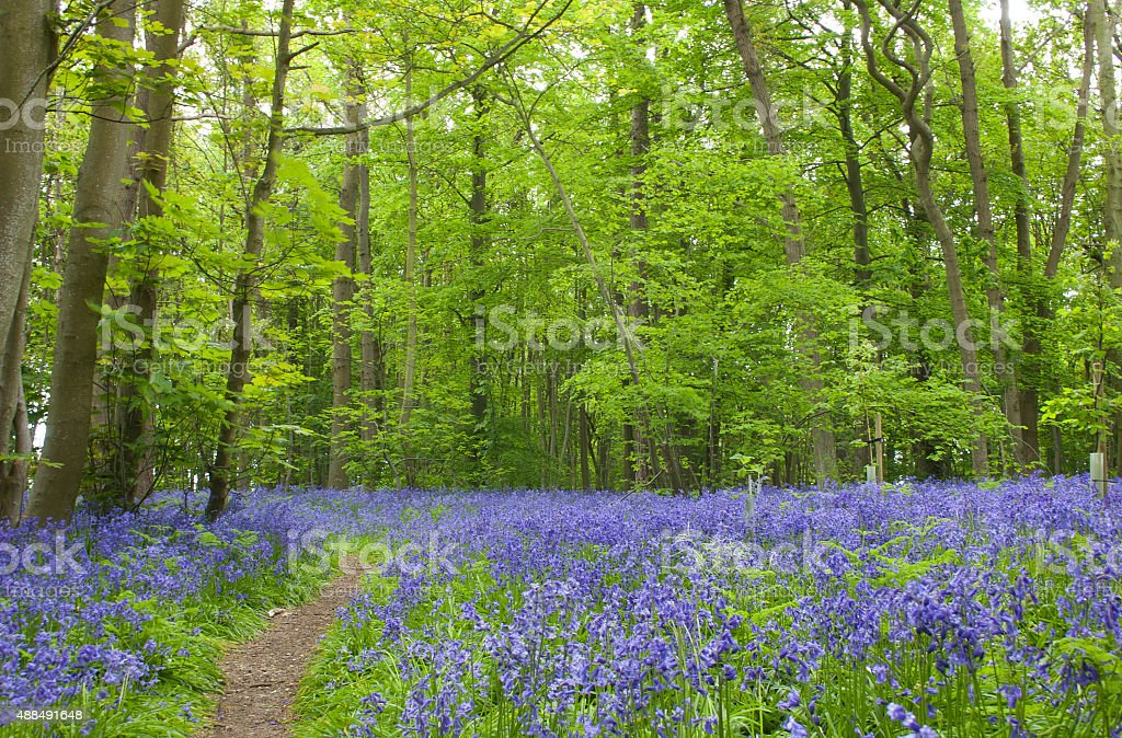 Bluebells in ancient woodland, near Snape, Suffolk, UK stock photo