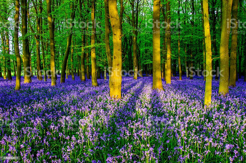 Bluebells in Dockey Wood stock photo