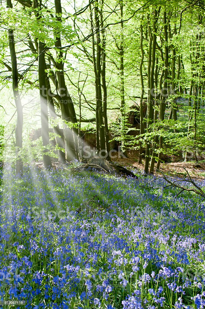 Bluebells in English Woodland stock photo