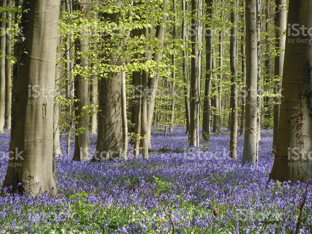 Bluebells in forest at springtime stock photo
