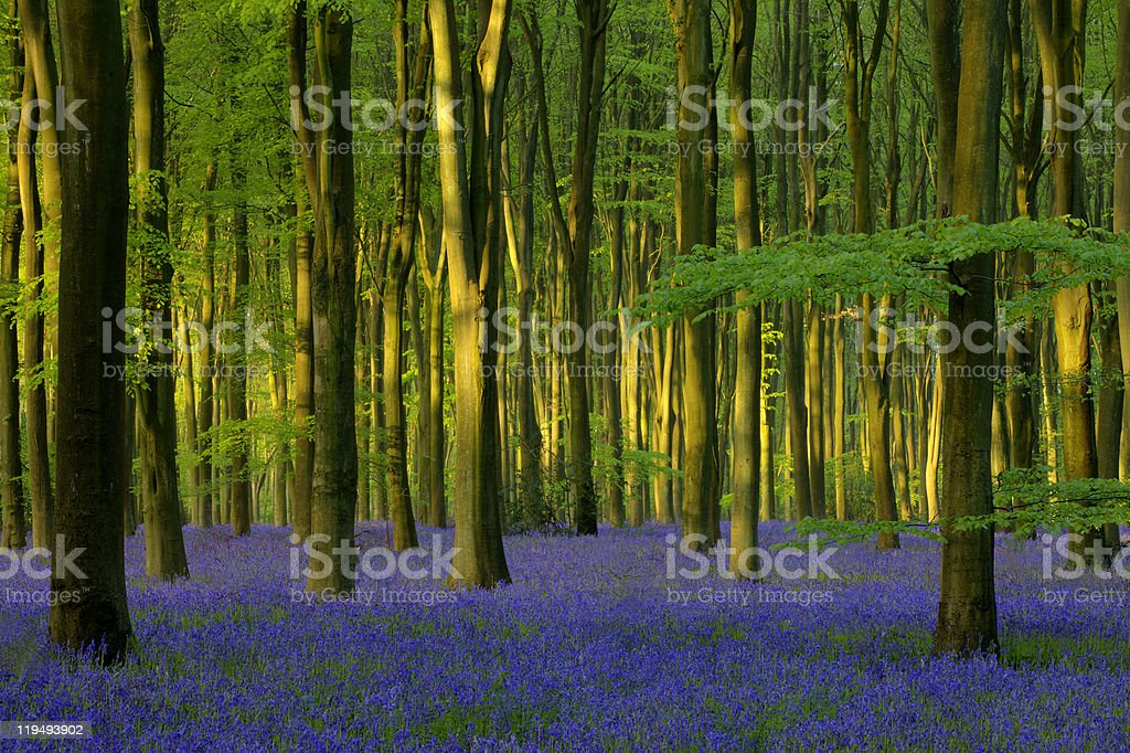 Bluebells in Micheldever Wood stock photo