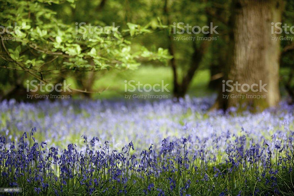 Bluebells in Oak Wood stock photo