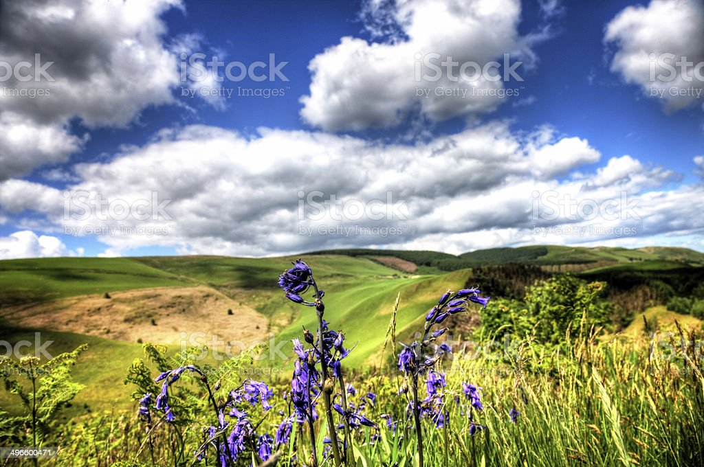 Bluebells in remote Welsh countryside royalty-free stock photo
