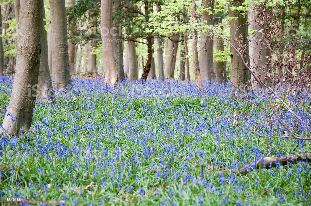 Bluebells In Spring stock photo