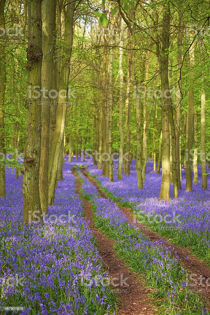 Bluebells In Springtime royalty-free stock photo