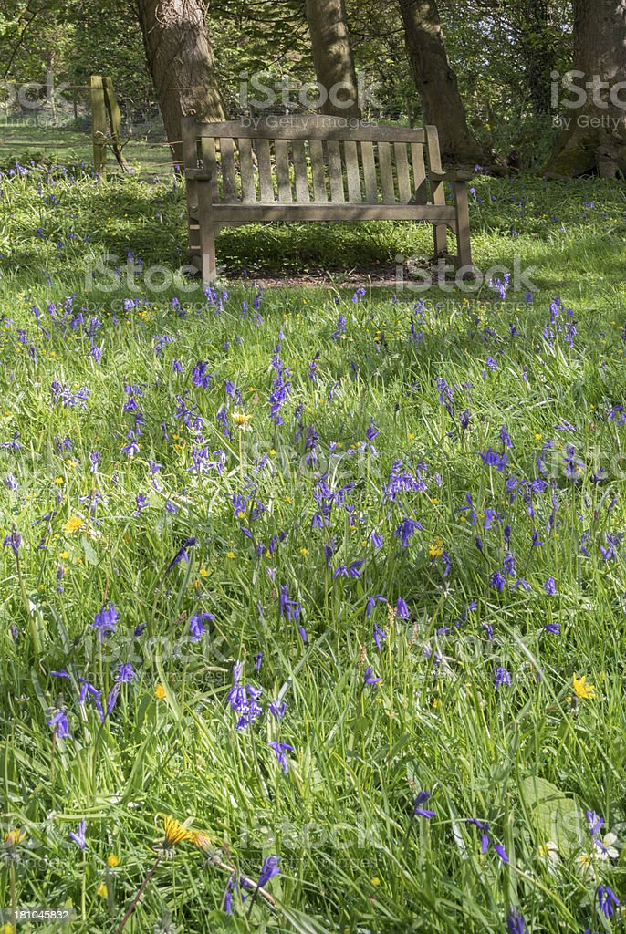 bluebells in wood royalty-free stock photo
