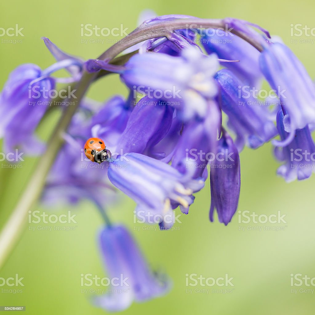 Bluebells & Ladybird stock photo