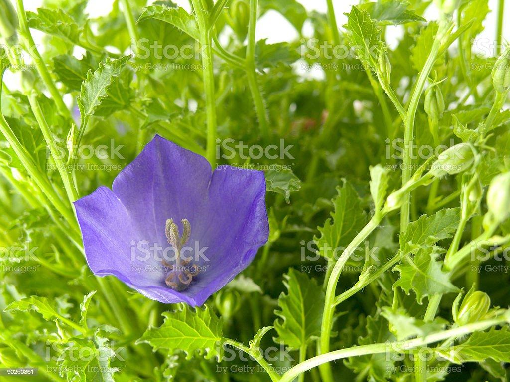 bluebells - macro of Campanula carpatica stock photo