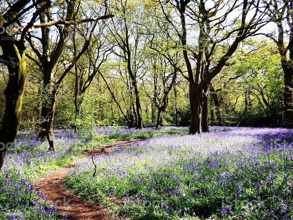 Bluebells of Bury Wood stock photo
