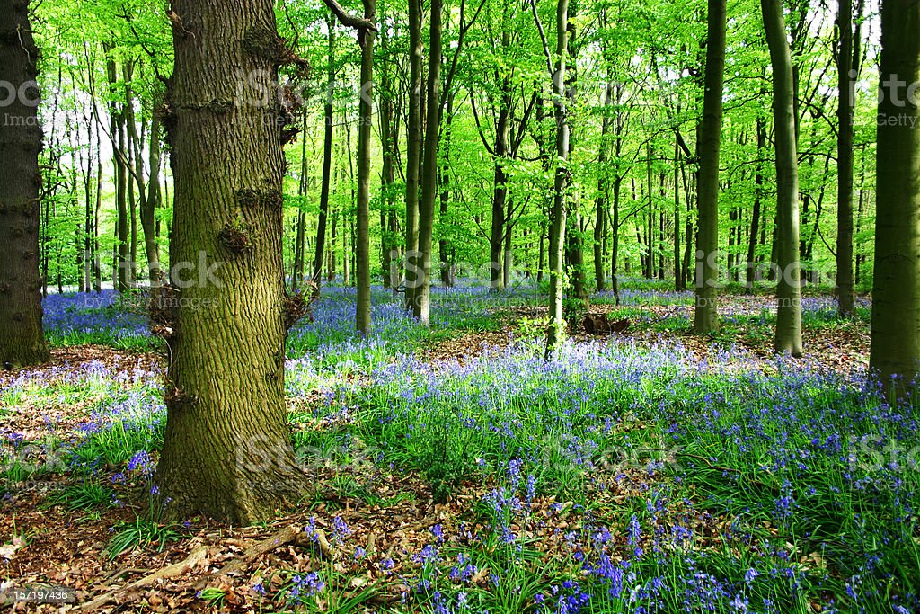 Bluebells of Sherwood Forest in Nottinghamshire stock photo