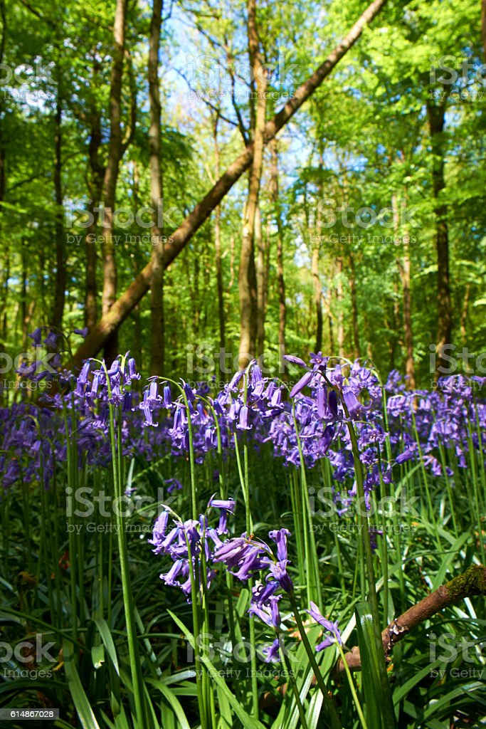 Bluebells Of The Beechwood stock photo