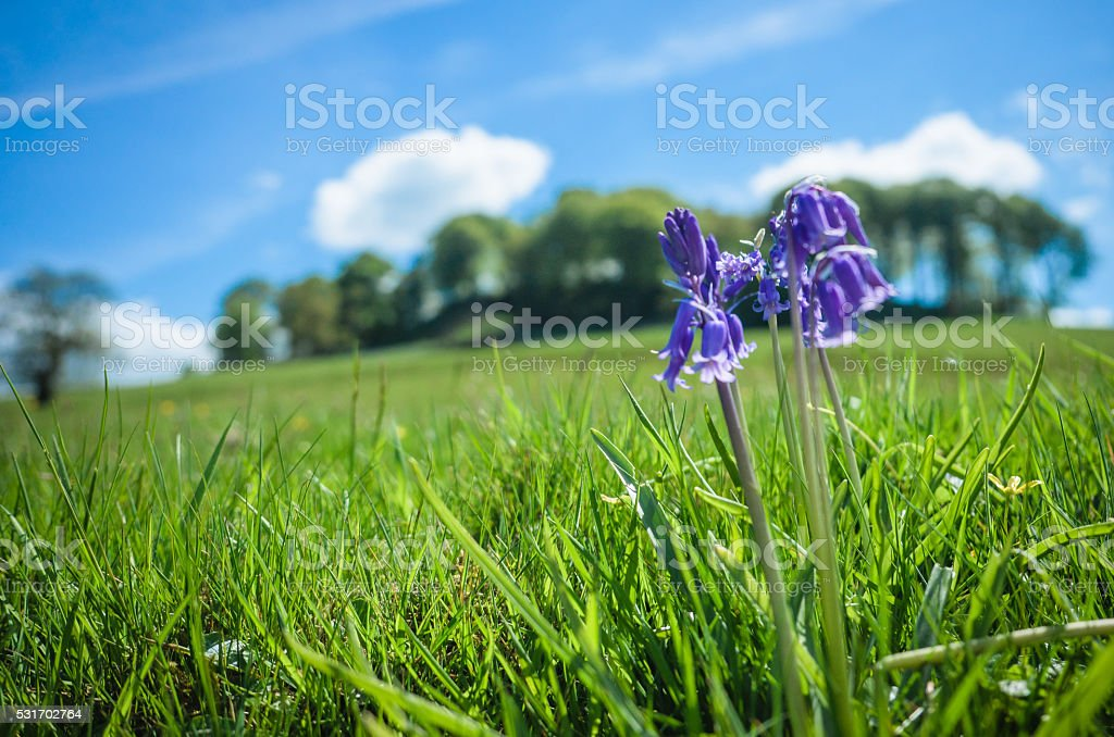 Bluebells on Pictor stock photo