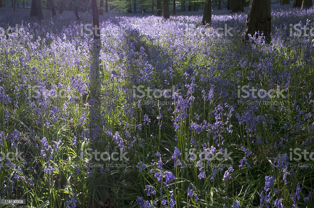 Bluebells. royalty-free stock photo