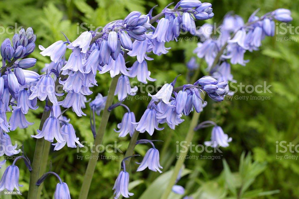 Bluebells royalty-free stock photo
