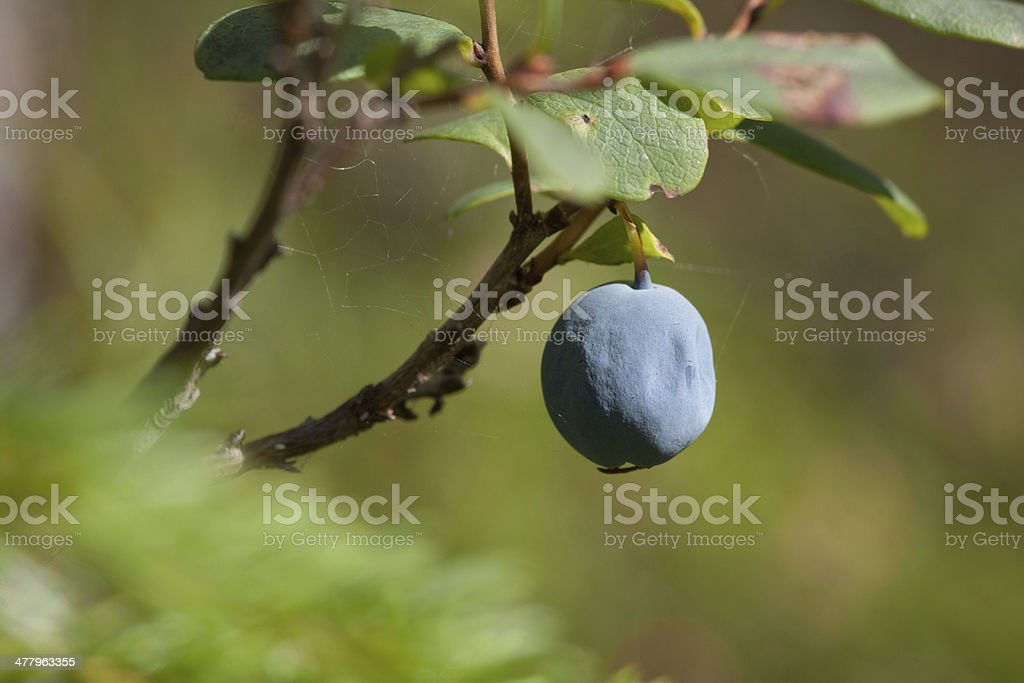 Blueberrie in a forest royalty-free stock photo