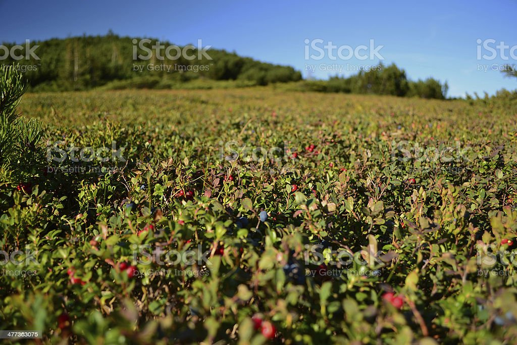 blueberries and cowberry growing in the mountains stock photo