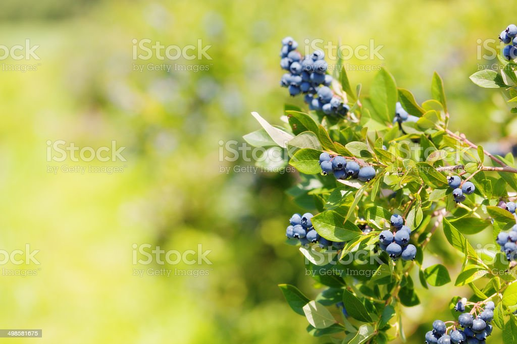 Blueberries Bush with Ripe Clusters of Fruit stock photo