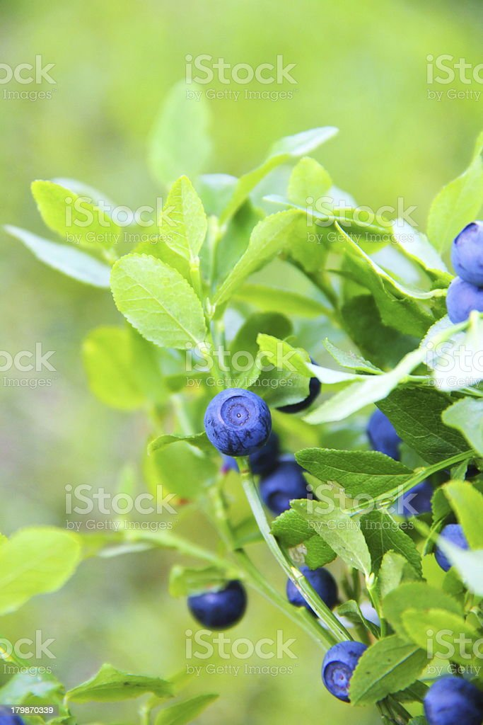 Blueberries growing on a branch stock photo
