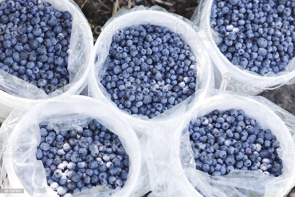 Blueberries Harvest in the Field royalty-free stock photo