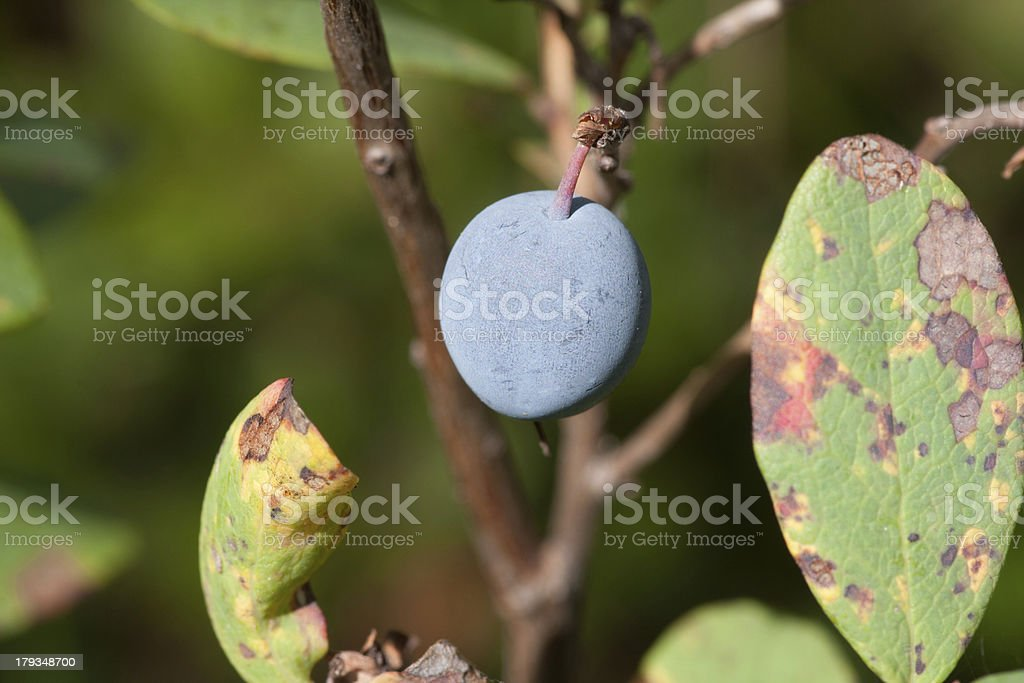 Blueberries in a forest royalty-free stock photo
