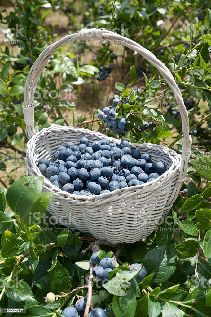 Blueberries in a white wicker basket stock photo